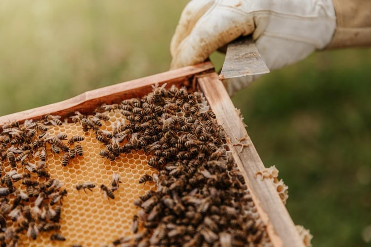 Api a rischio estinzione: la salvezza potrebbero essere le api africane